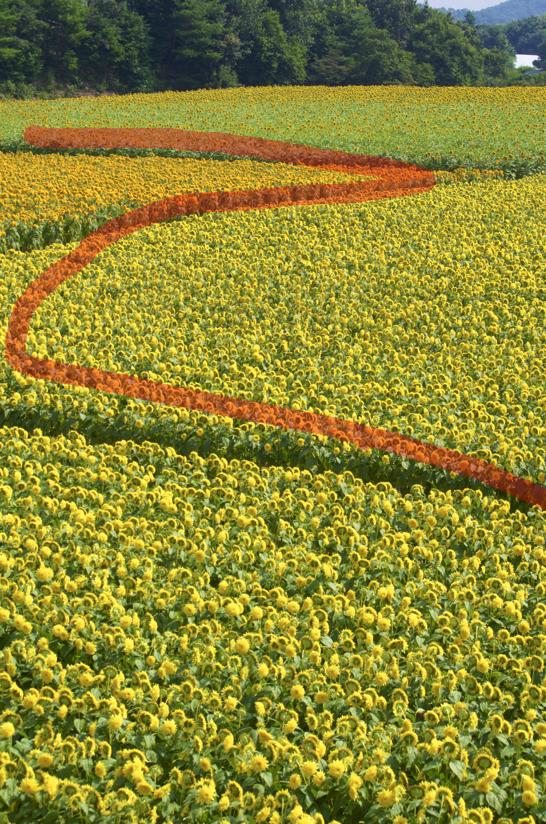S字構図でとったひまわり畑