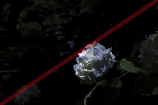対角構図で撮った紫陽花