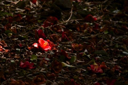 明暗差を利用した椿の写真