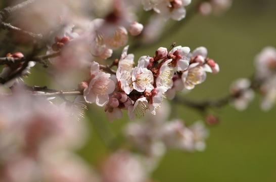 春の梅の花