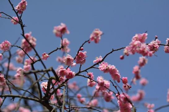 青空を背景にした梅の花