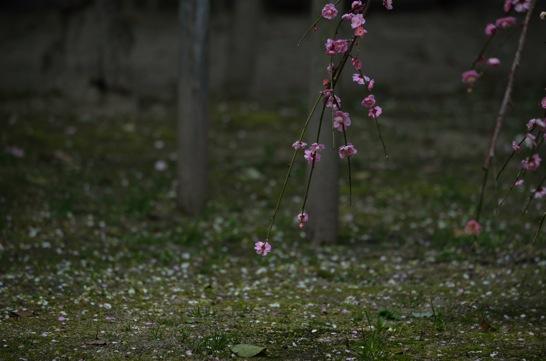 曇の日の梅の花の撮影