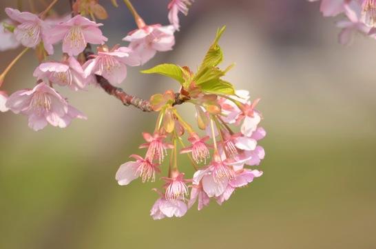 萩しーまーとの河津桜3