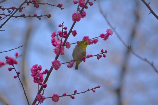斐川公園の梅とメジロ