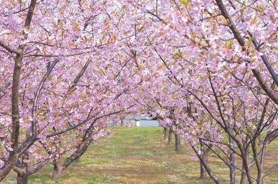 萩しーまーとの河津桜