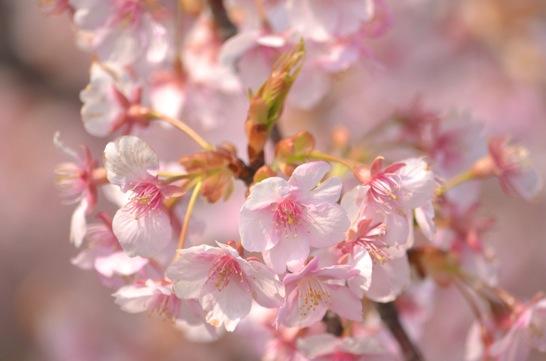 萩しーまーとの河津桜2