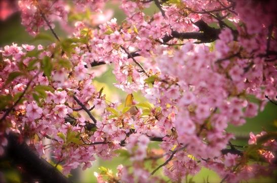 萩しーまーとで河津桜とメジロ