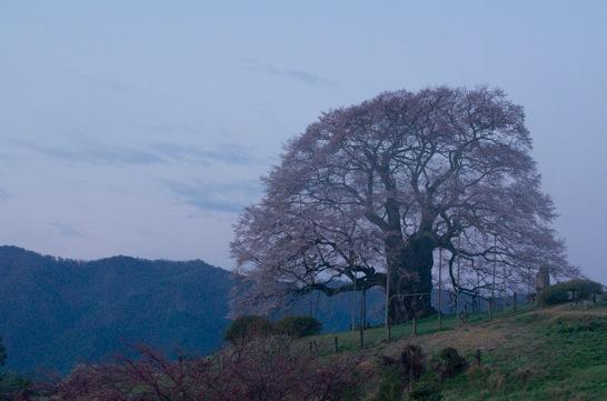 朝霧の中の醍醐桜