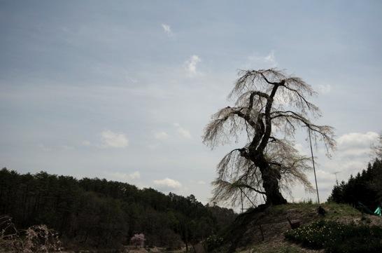 長沢の枝垂桜