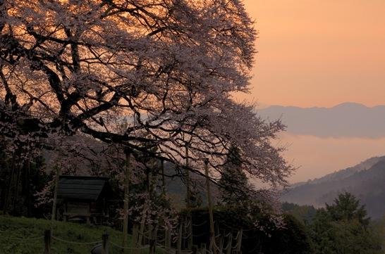 早朝の醍醐桜