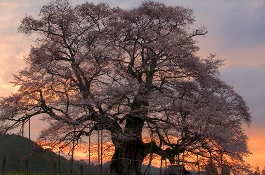 朝焼けの醍醐桜