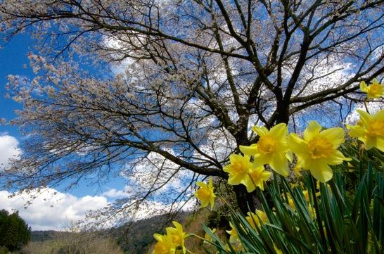 井川の一本桜とスイレン