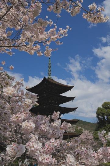 瑠璃光寺の五重塔と桜