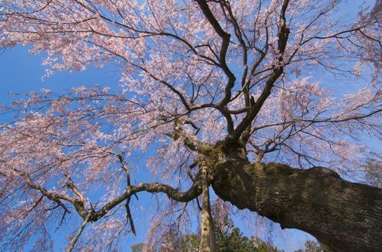 神原のしだれ桜 広角