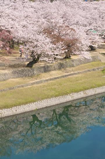錦帯橋のほとりと桜