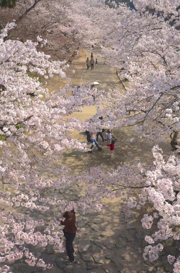 錦帯橋の橋の上から桜