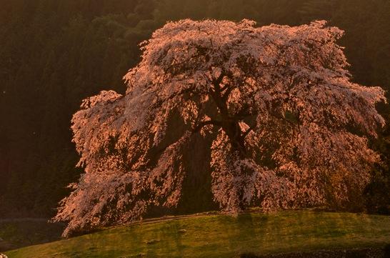 夕日に輝く与一野のしだれ桜
