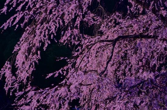 湯の山のシダレザクラ