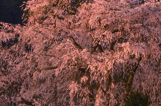 湯の山のしだれ桜 朝日