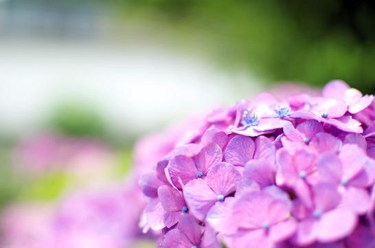 AF-S NIKKOR 35mm f/1.8Gで撮った紫陽花