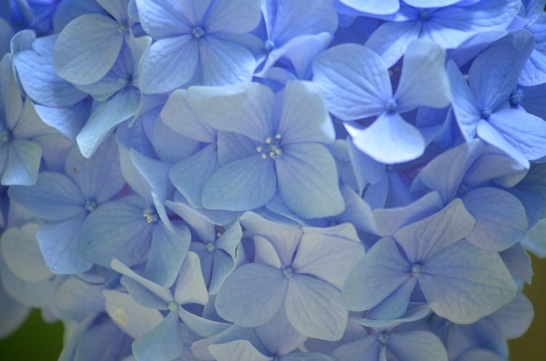 島根のあじさい寺、月照寺で3万本の紫陽花を撮ってきた!