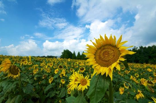 世羅高原農場の向日葵