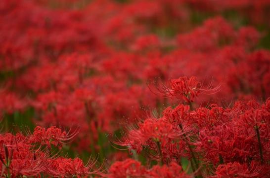 吉賀町の彼岸花