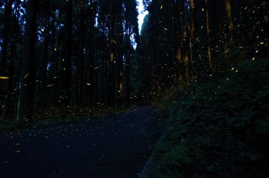 ヒメボタル 道路