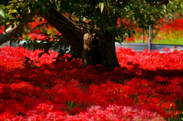 島根県吉賀町の彼岸花