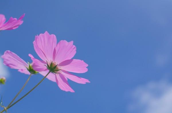 1輪の秋桜