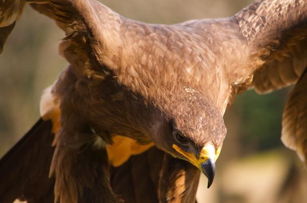 鷹が羽を広げた様子