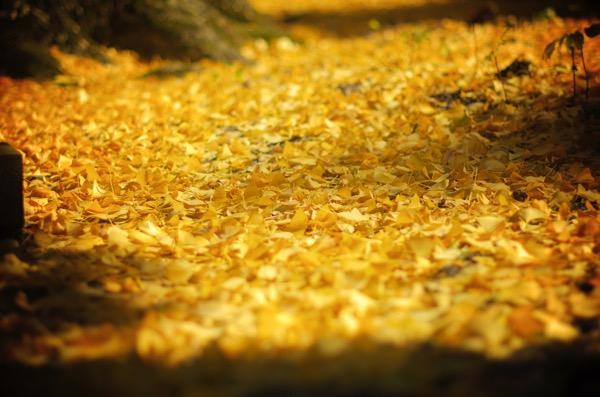 金言寺の大イチョウ 黄色いカーペット