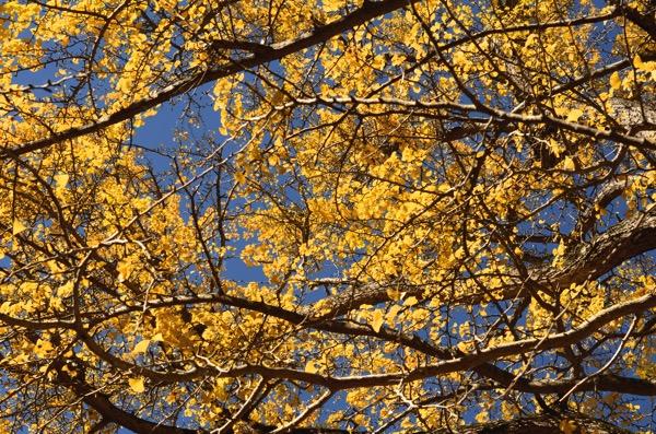 銀杏の木と青空