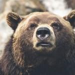 free-kuma-brown-bear-423202_640.jpg