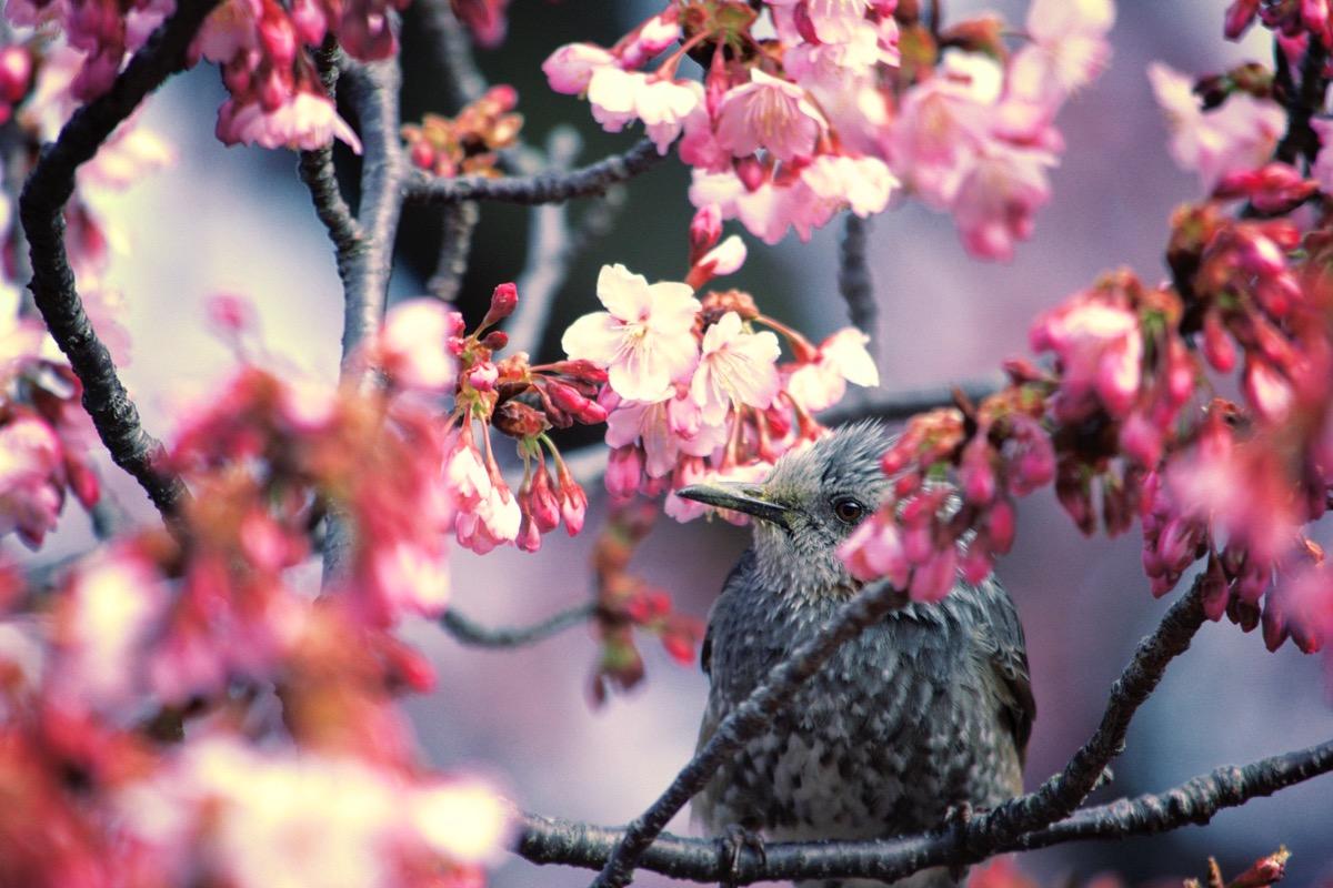 蓬莱桜とヒヨドリ
