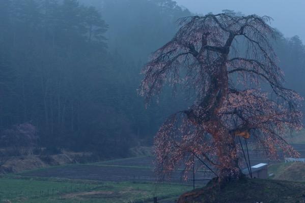 早朝ライトアップされた長沢のしだれ桜