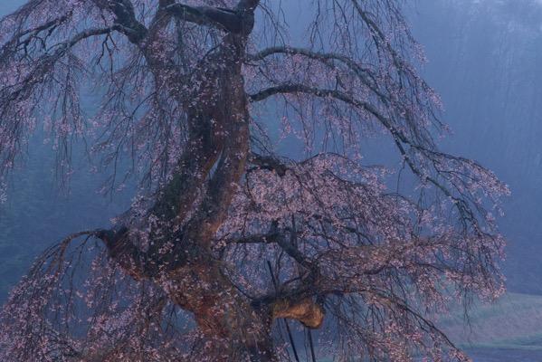 長沢のしだれ桜ライトアップ 早朝