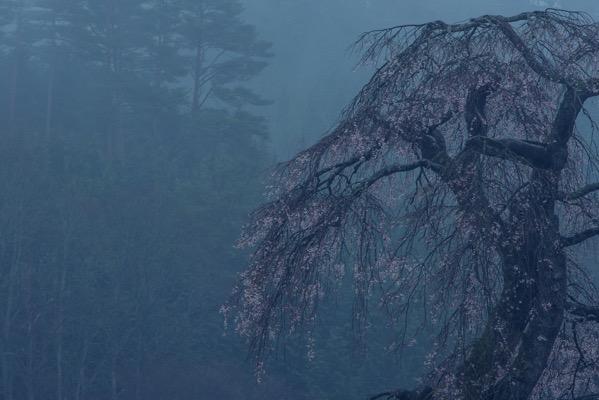 霧の中の長沢のしだれ桜