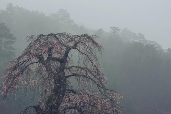 長沢のしだれ桜