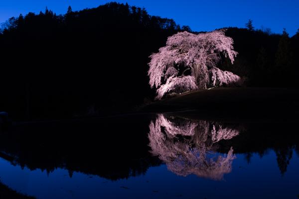 与一野のしだれ桜 ライトアップ