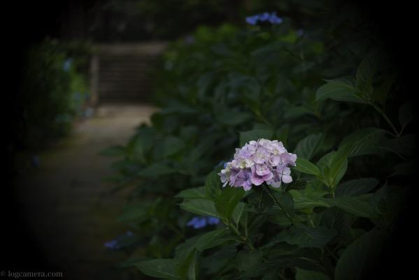 月照寺紫陽花