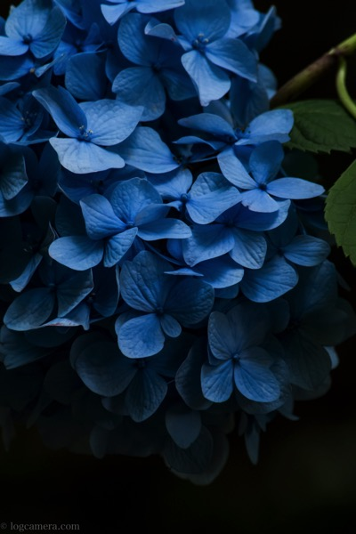 月照寺 紫陽花