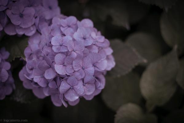 種松山公園で紫陽花を撮ってきました