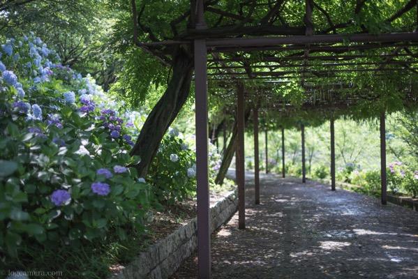 種松山紫陽花