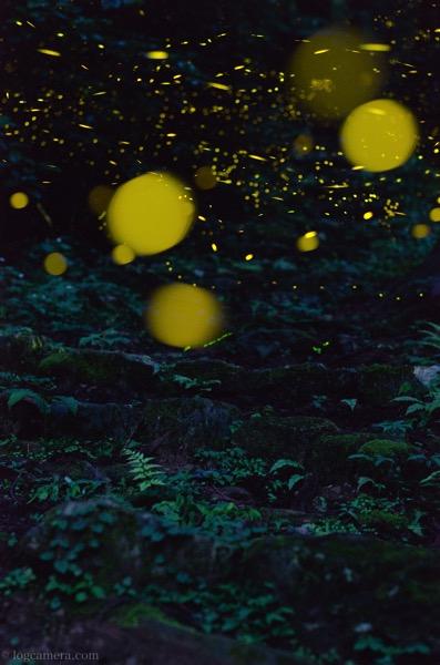 森のヒメボタル