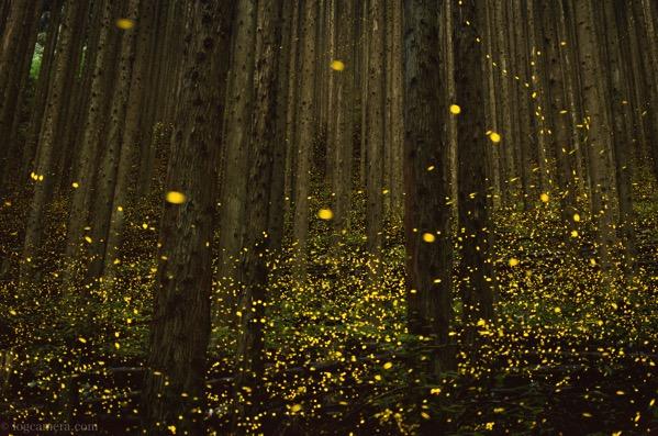 金色に輝く森