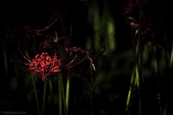 吉賀の彼岸花