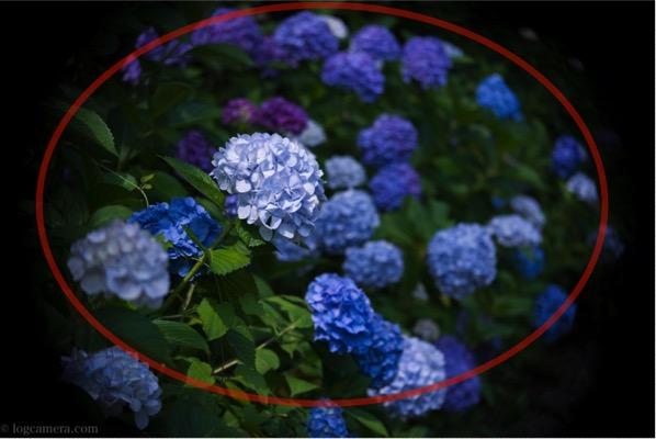 額縁構図 紫陽花
