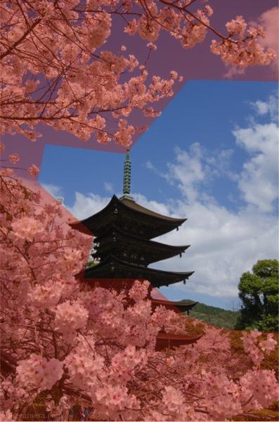 額縁構図 瑠璃光寺と桜