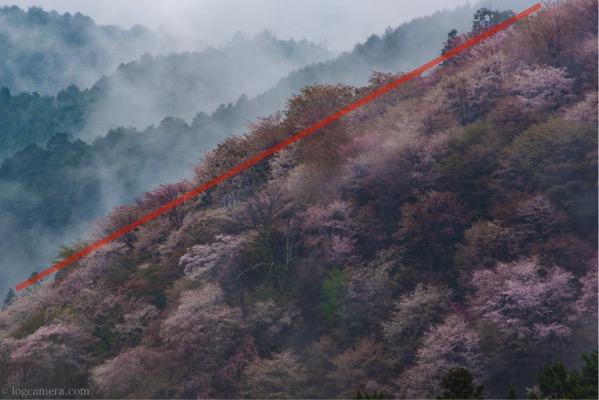 対角構図 桜